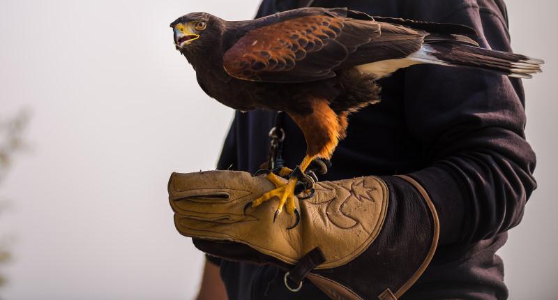 Bild eines Falken der auf der Hand gelandet ist